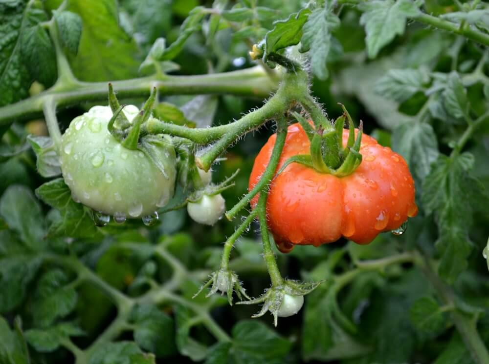 conseils pour faire pousser des belles tomates jardinalerie. Black Bedroom Furniture Sets. Home Design Ideas