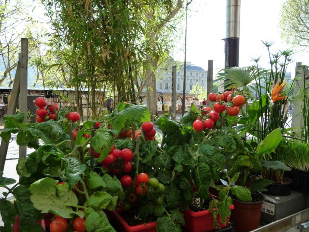 Comment planter des tomates en pot - Jardinalerie